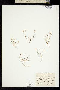 Image of Pentachaeta exilis