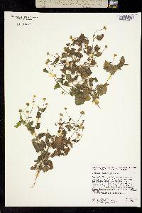 Perityle californica image