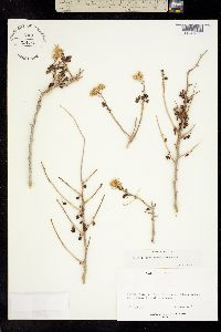 Perityle crassifolia image