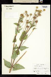 Viguiera cordifolia image