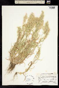 Image of Cynosurus aureus