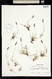 Hilaria cenchroides image