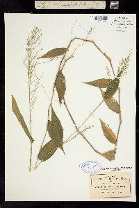 Image of Panicum pallens