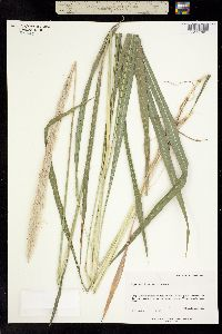 Imperata brevifolia image