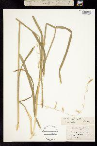 Lophochlaena refracta image