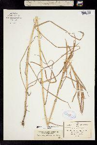 Image of Andropogon fasciculatus