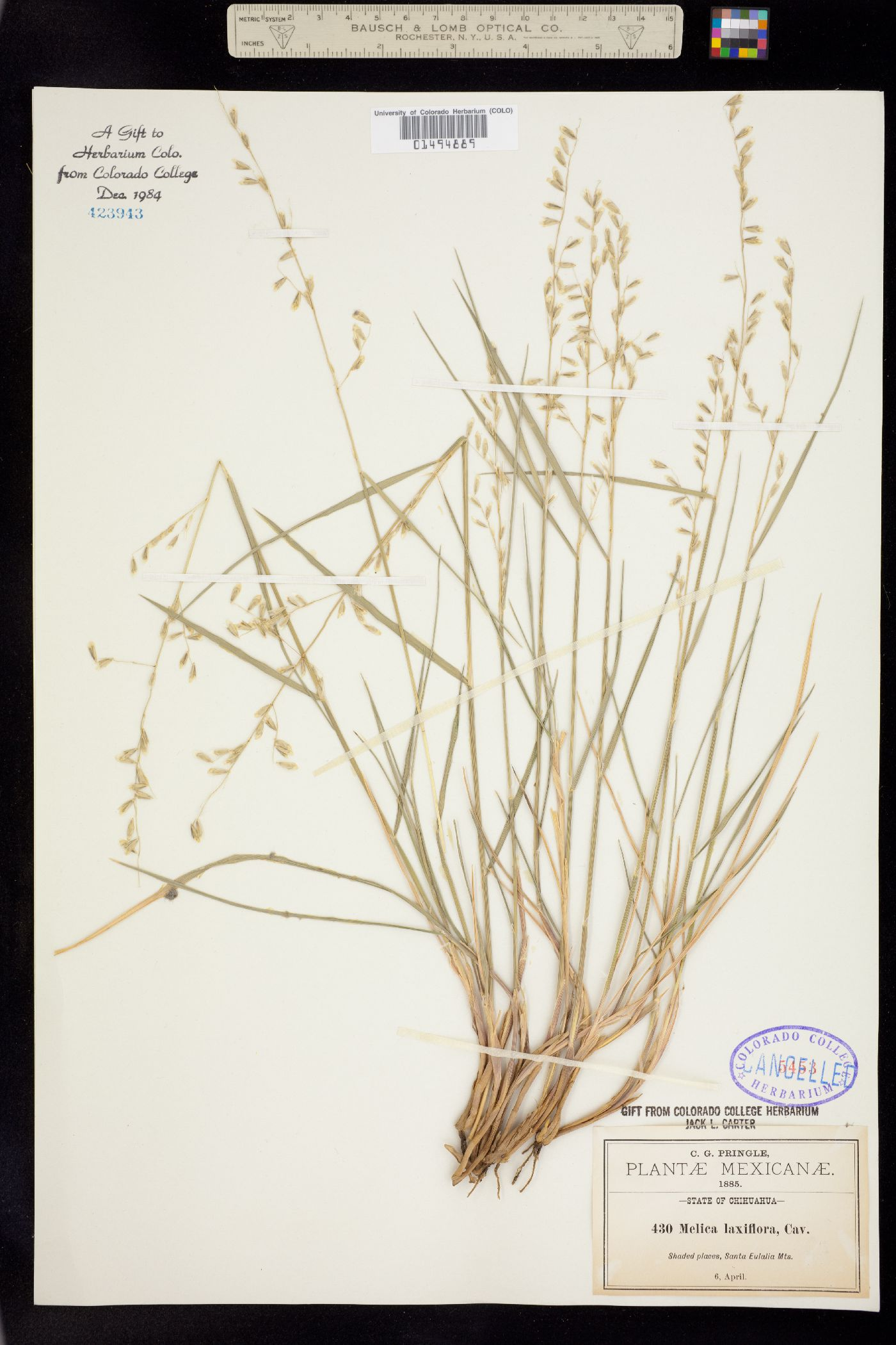 Melica longiflora image