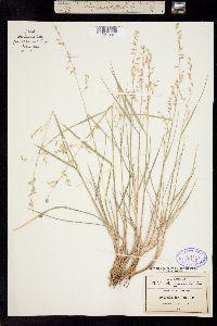 Image of Melica longiflora