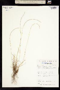Microchloa kunthii image
