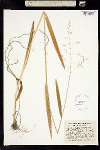 Image of Agrostis effusa