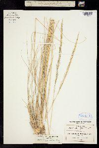 Muhlenbergia dubia image