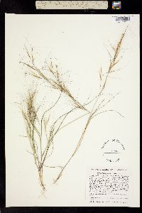 Image of Aristida tuberculosa