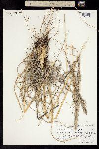 Image of Muhlenbergia macrotis