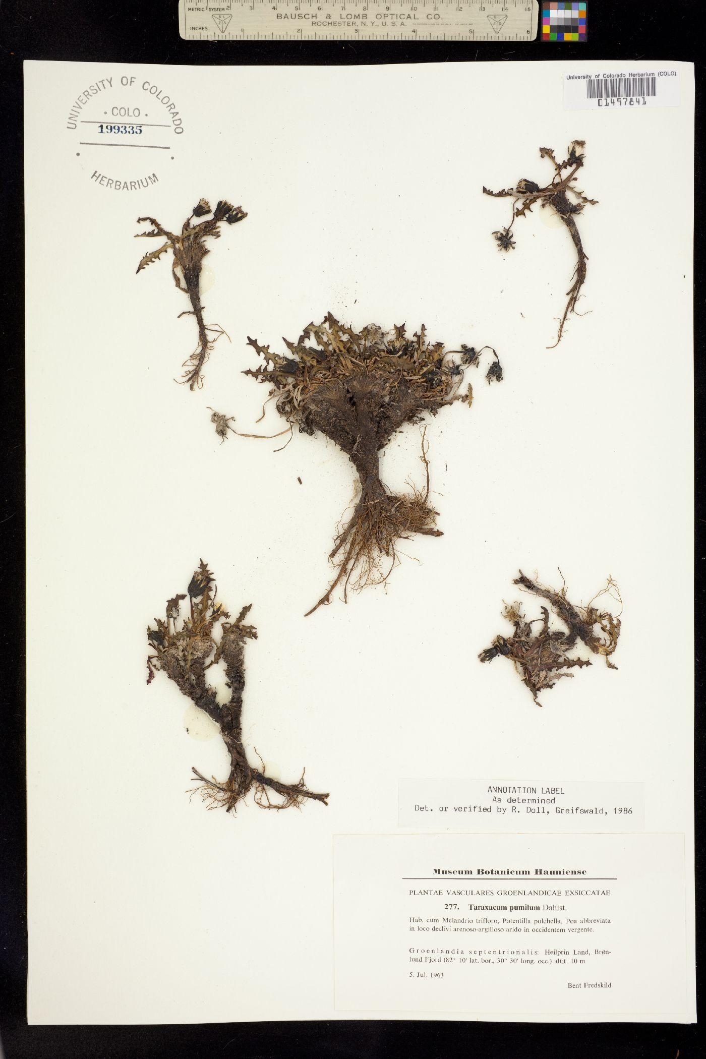Taraxacum holmenianum image