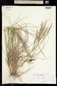 Muhlenbergia montana image