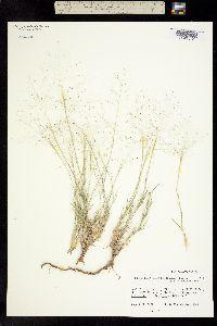 Muhlenbergia arenacea image