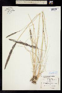 Muhlenbergia palmeri image
