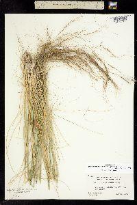 Nassella cernua image