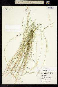 Nassella lepida image