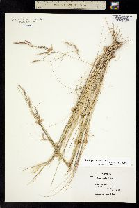 Nassella pulchra image
