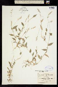 Image of Panicum burmannii