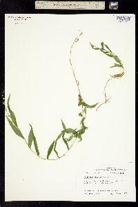 Image of Panicum bidentatum