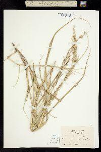 Panicum amarulum image