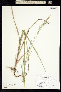Image of Panicum anceps