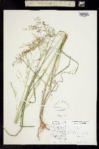 Panicum bulbosum image