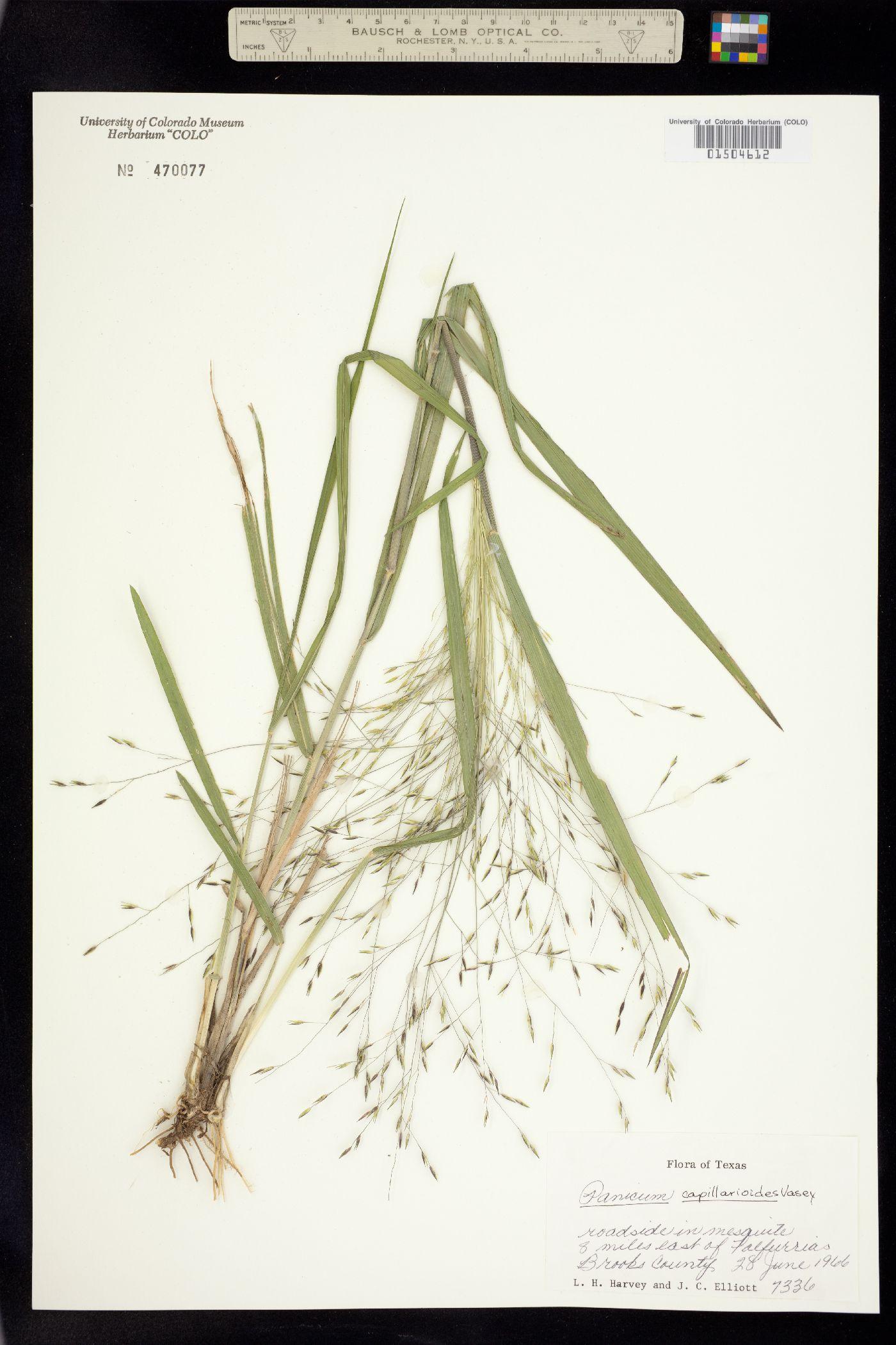 Panicum capillarioides image