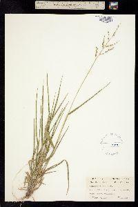 Panicum fasciculatum image