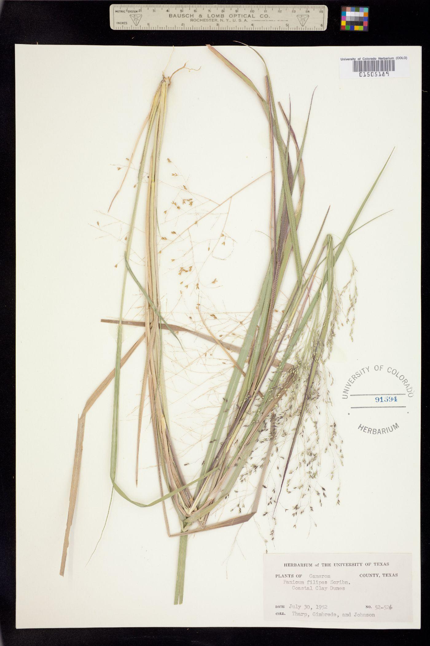 Panicum hallii var. filipes image