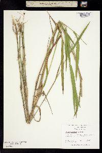 Image of Panicum hemitomon