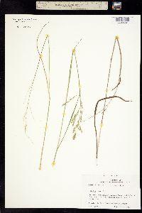Image of Panicum hians