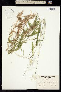 Image of Panicum gongylodes