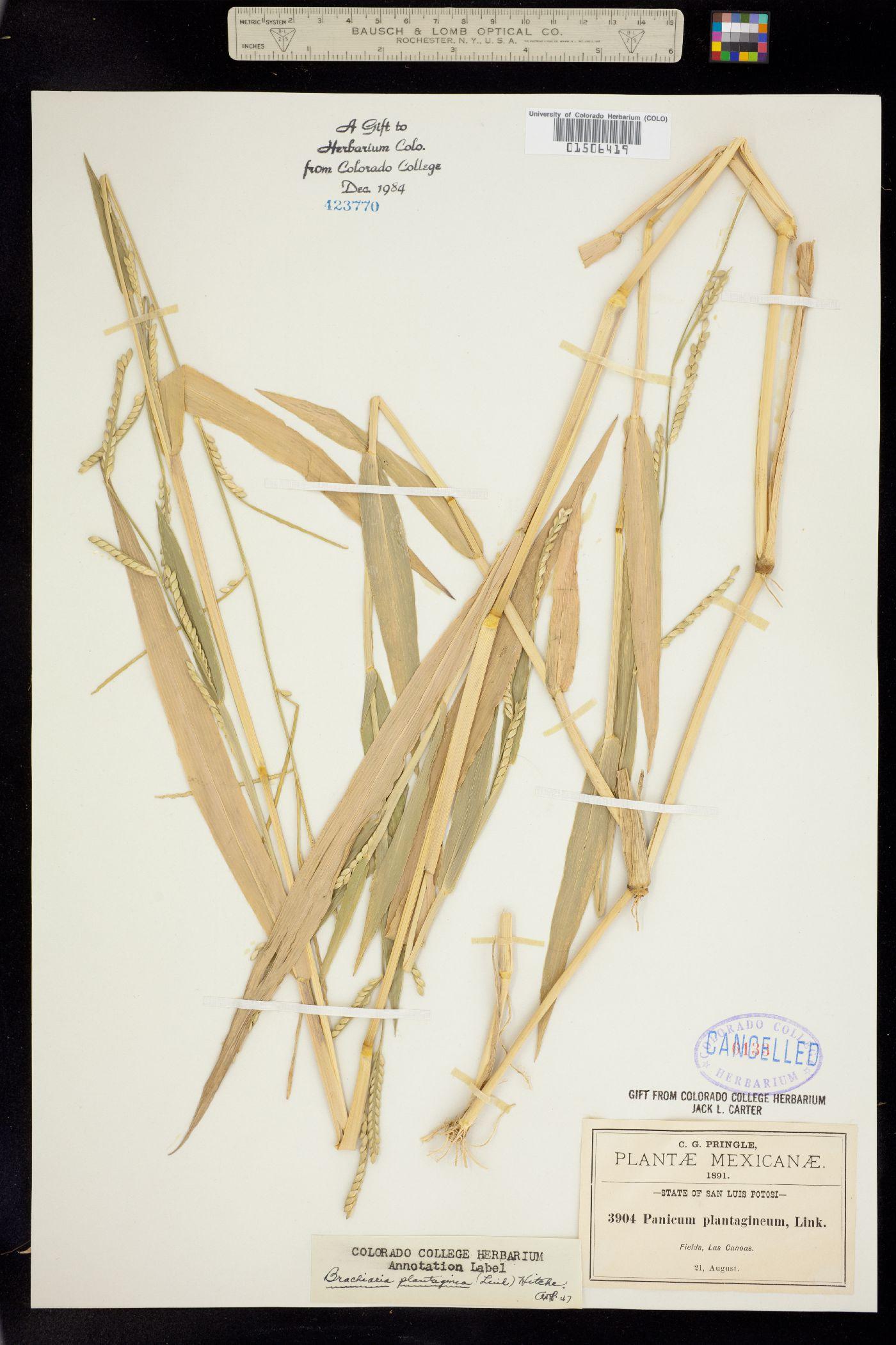 Panicum plantagineum image