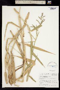 Image of Panicum barbinode