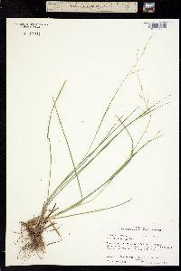 Panicum rigidulum image