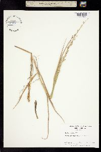 Image of Panicum amarum