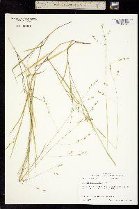 Panicum brachyanthum image