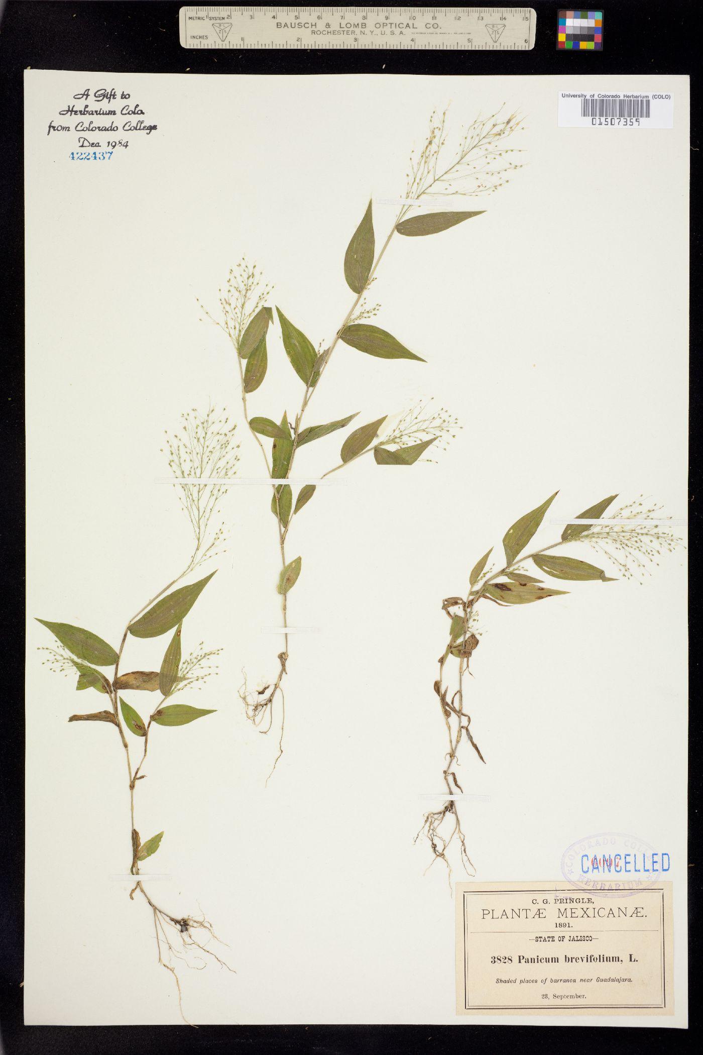 Panicum brevifolium image