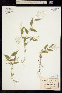 Image of Panicum brevifolium