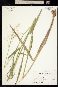 Image of Dichanthelium scabriusculum