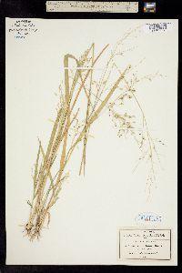 Image of Panicum diffusum