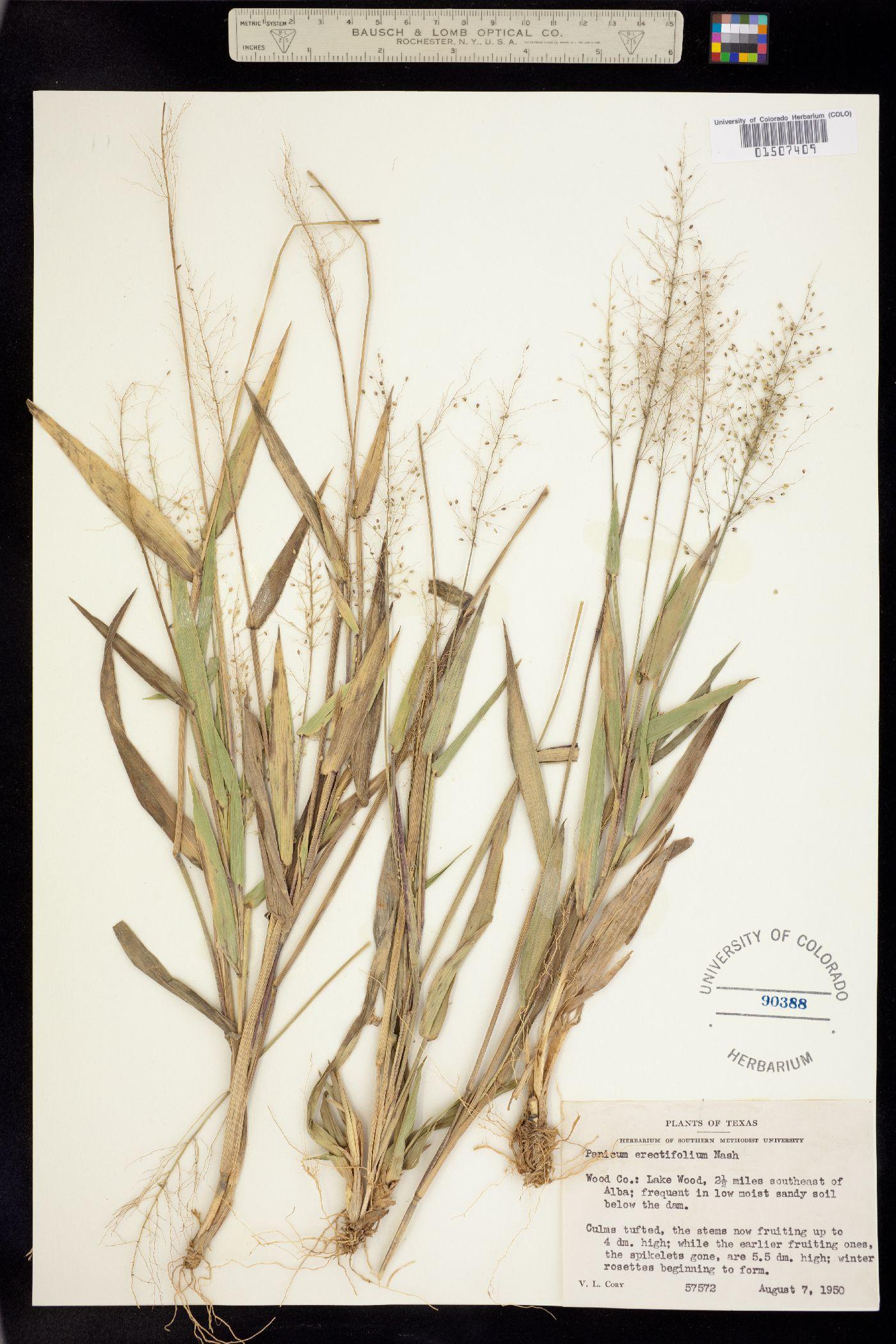Panicum erectifolium image