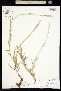 Panicum firmulum image