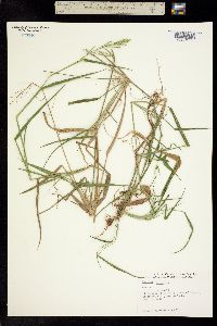 Image of Panicum agrostidiforme
