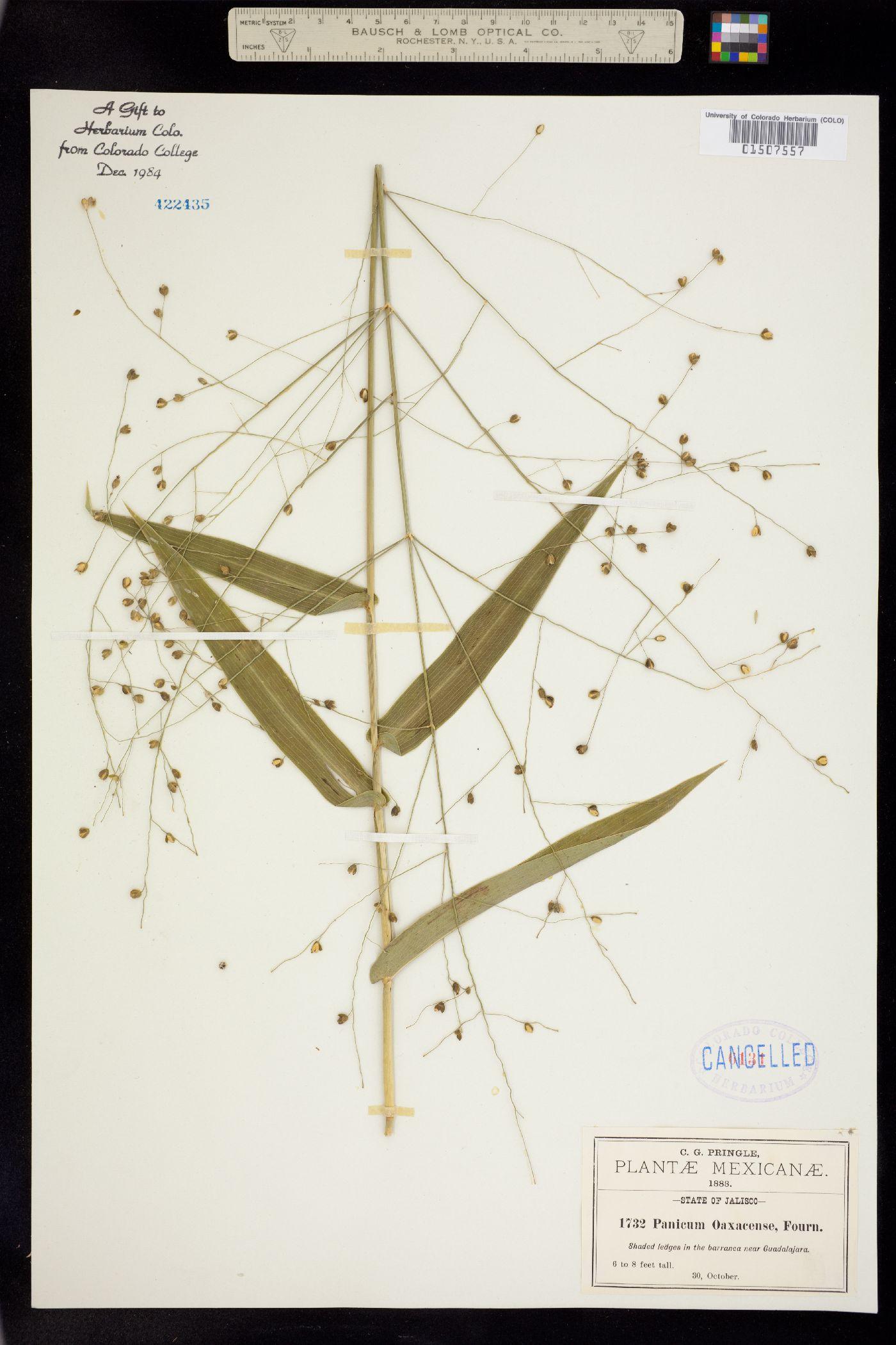 Panicum oaxacense image