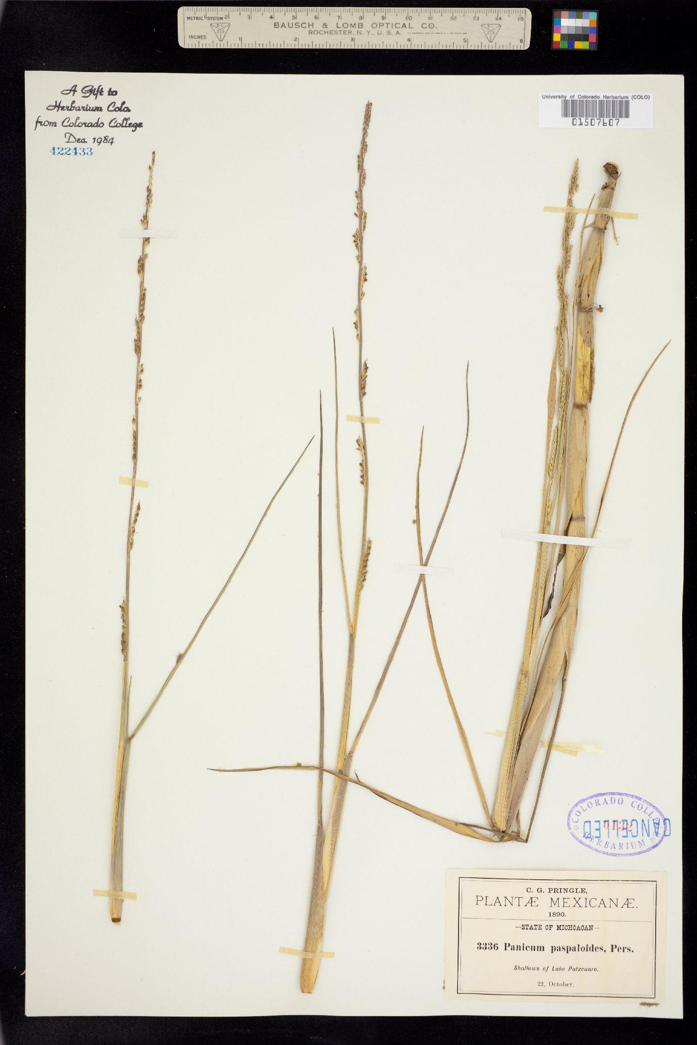 Panicum paspaloides image