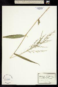 Image of Panicum parviglume